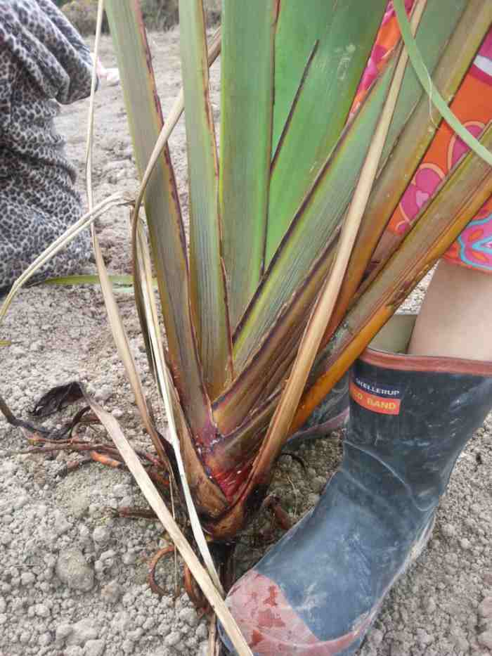 Dividing flax. Homesteading in NZ