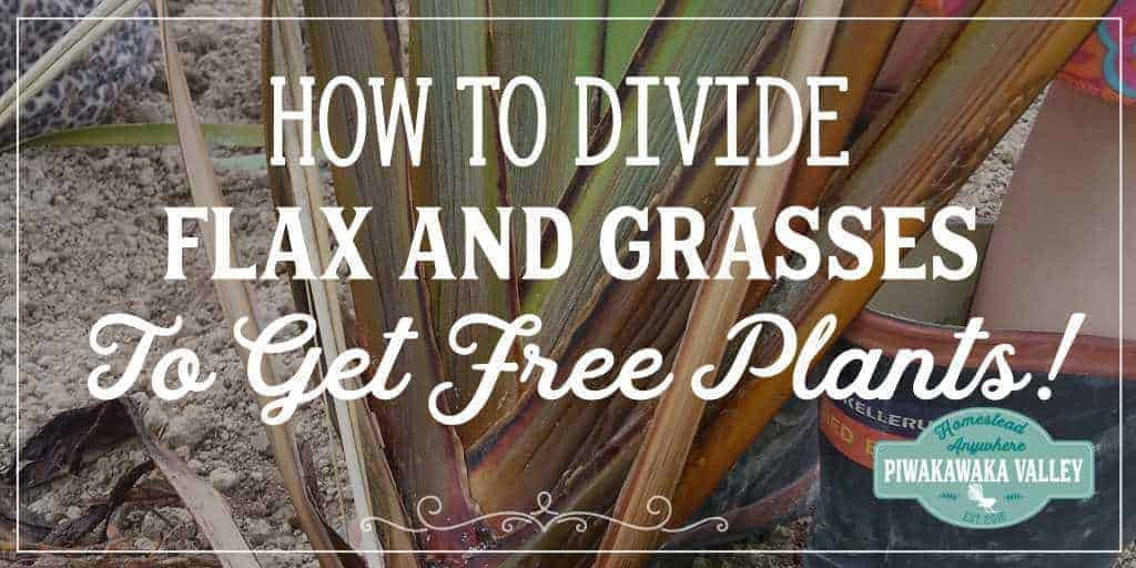 When you start a new garden, or renovate and old one, plants can be expensive! Did you know you can get free plants by dividing flax, tussock and other grasses? #gardening #frugal #homesteading