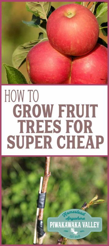 This step by step guide will show you how easy it is to graft your own fruit trees. Grafting fruit trees ourselves means we have to wait a couple more years for fruit. It also means I can do it for around $6/tree.