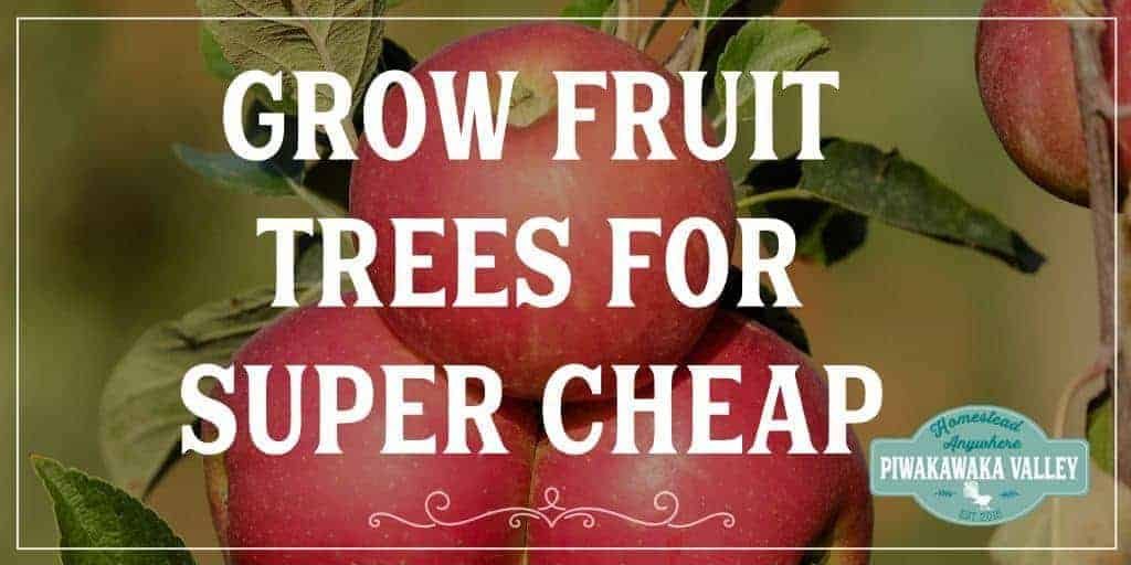 Grafting fruit trees ourselves means we have to wait a couple more years for fruit. It also means I can do it for around $6/tree.