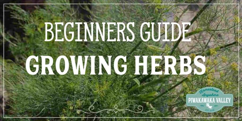 Have you put off growing herbs in your garden because you don't know where to start? Here is some tips for beginners to growing your own herbs at home. #herbs #gardening #homesteading