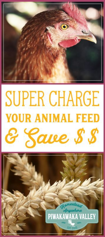 Fermenting your animal feed has many benefits, and it makes your grain go further which saves you money! Find out how to ferment your grain and why you should here.