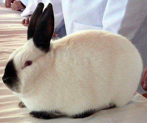 Best meat rabbits - Californian choosing meat rabbit breed
