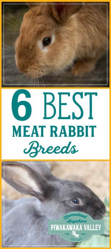 How to choose the best meat rabbit for a colony. Not all rabbits are suited for colony life, here is a guide to choosing the best meat rabbit for your situation. #meatrabbits #rabbits #homestead #sustainable