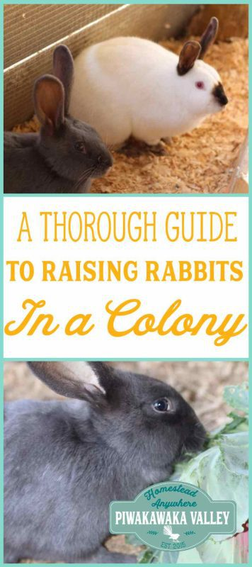 A comprehensive guide to raising meat rabbits in a colony for a self sufficient and sustainable source of health meat in your backyard.