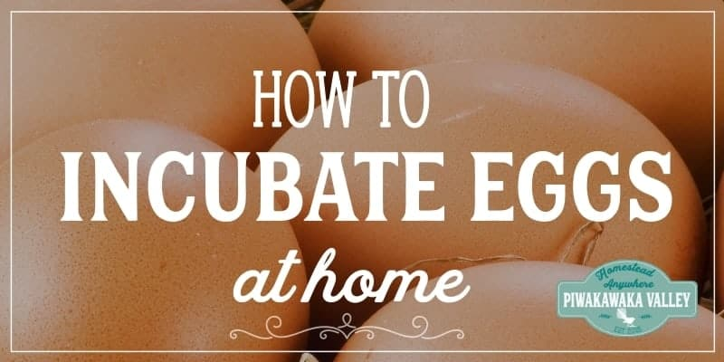 how to incubate eggs at home