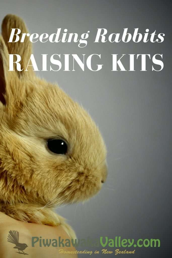 Breeding rabbits, raising kits, raising baby rabbits
