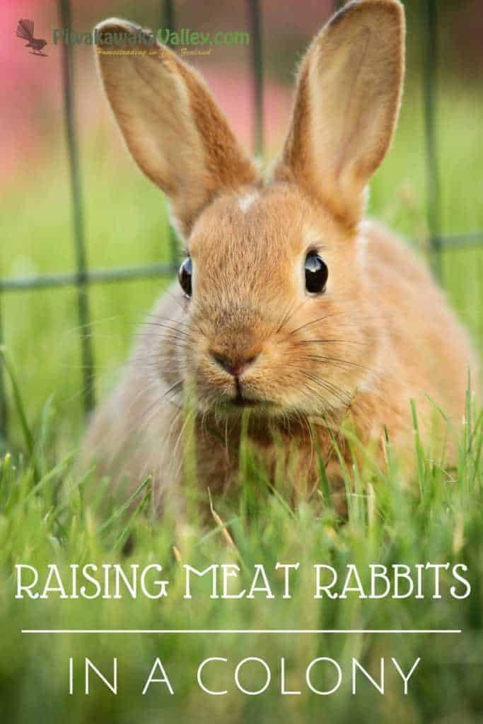 The Ultimate Guide to raising meat rabbits in a colony