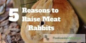Rabbits make a great renewable protein source, you can raise them in your backyard.