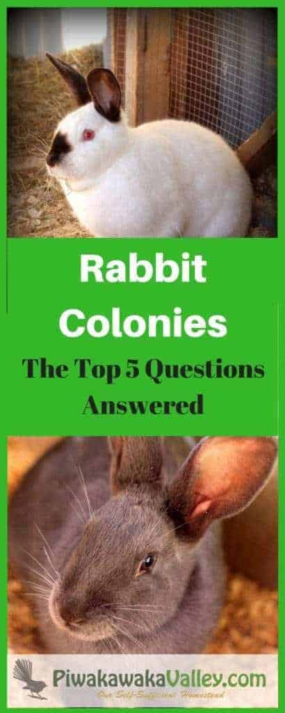 Keeping rabbits in a rabbit colony - the top 5 questions answered. Group housing rabbits, communal rabbit housing.