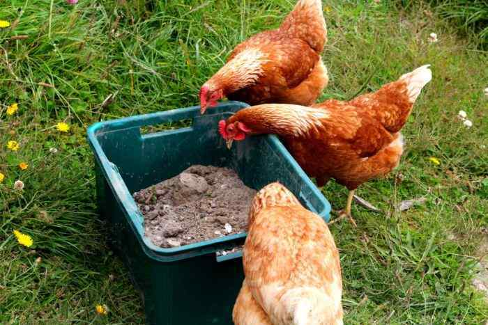 the ultimate Chicken dust bath