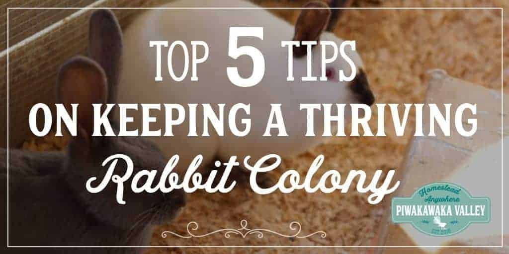 Keeping rabbits in a colony does not have to be daunting. Here are the answers tot he top 5 commonly asked questions when it comes to keeping rabbits in a colony.