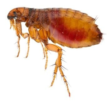 natural way to treat fleas