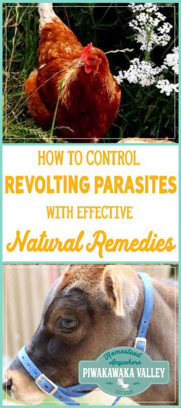 Simple, natural methods to deal with fleas, mites, ticks and other parasites on the homestead that really work!