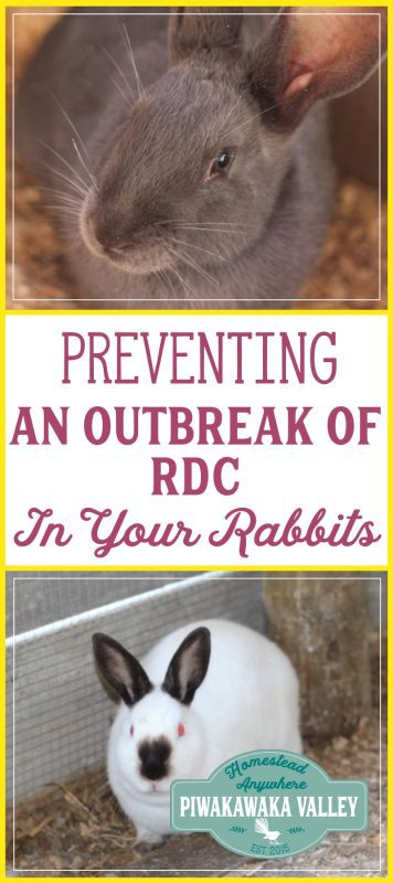 Preventing an Outbreak of Rabbit Calicivirus in your Rabbitry promo image
