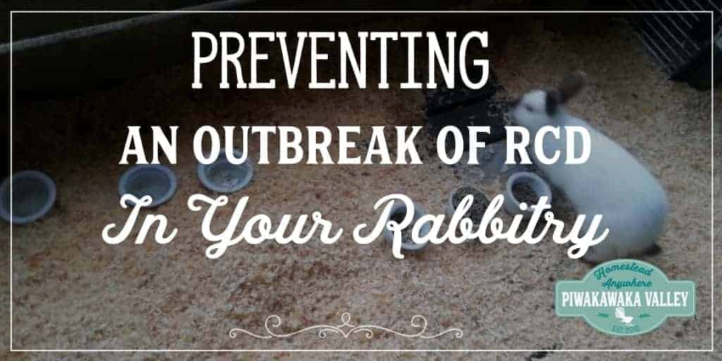 RCD is a vicious, deadly disease. Here are some protocols you can put in place to prevent RCD/VHD in your rabbit colony