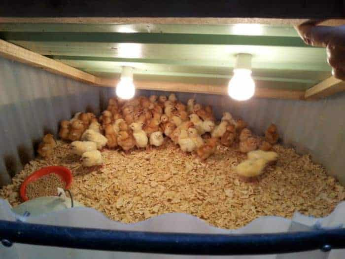 DIY expanding chick raiser, brooder for chickens made from simple materials for cheap.