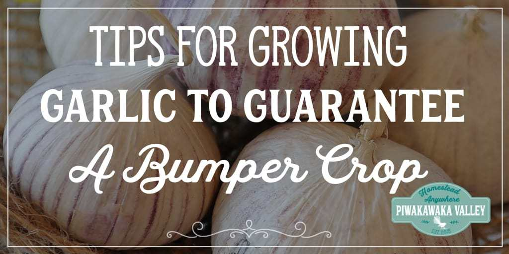 Tips for Growing Garlic to Guarantee a Bumper Cash Crop