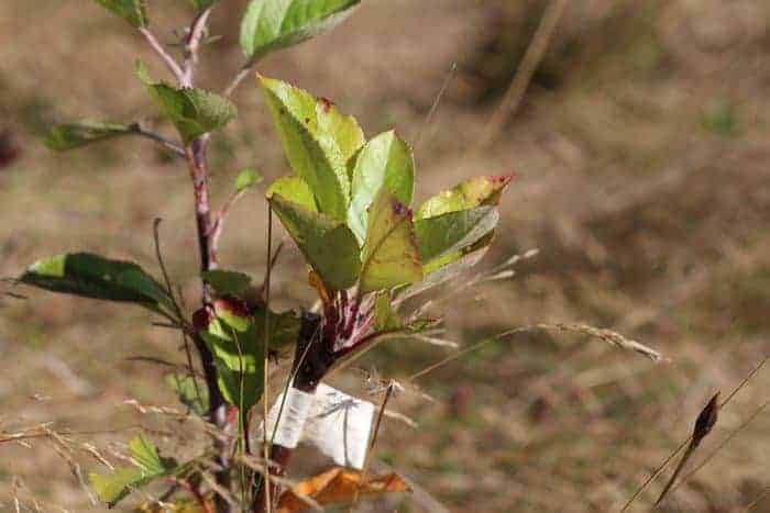 Grafting Fruit Trees - a Step by Step Guide on how to graft a tree promo image