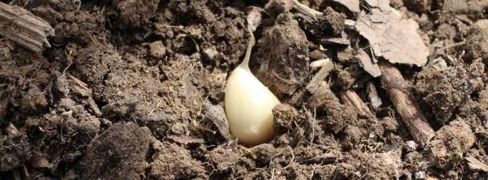 Growing garlic. Tips to guarantee a bumper crop. A guide to growing garlic.
