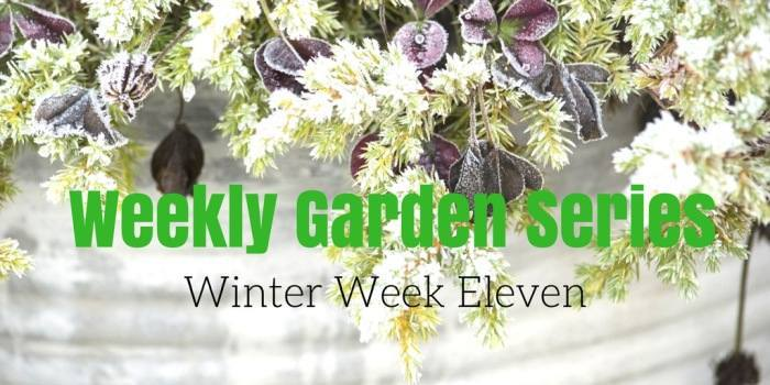 Weekly Garden Diary: Winter Week 11