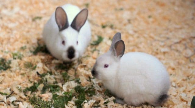 Healthy rabbits and preventing illness in your rabbitry.