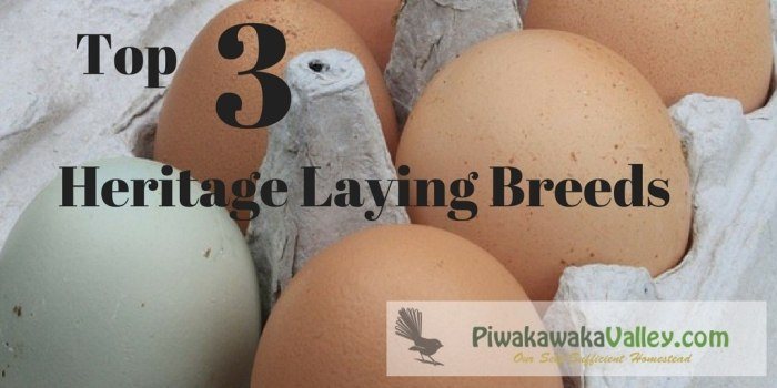 Top 3 Heritage Egg Laying Chicken Breeds | Backyard Eggs