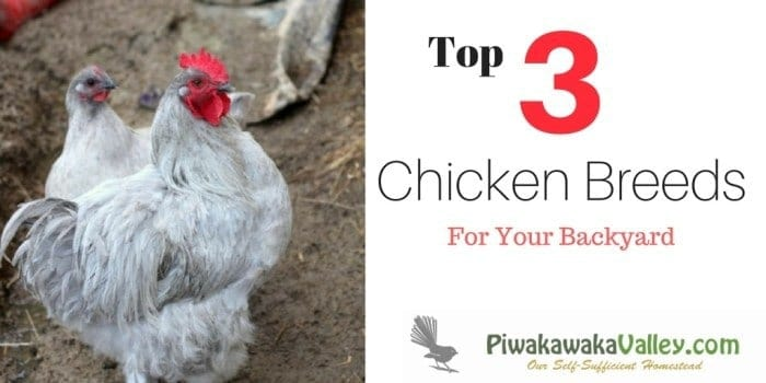 Are you thinking about getting chickens for your homestead? Here are the top three dual purpose breeds for keeping chickens in your backyard.