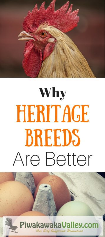 There are so many options when it comes to choosing chicken breeds. Hybrids may seem like the simple, best choice, but I am here to tell you that choosing a good heritage breed really is better! Find out why!