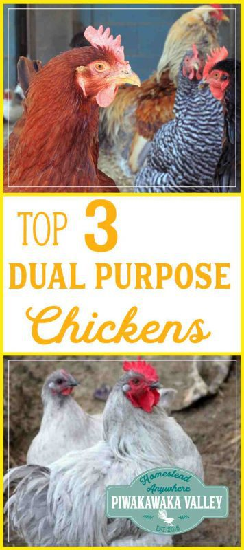 Are you thinking about getting chickens for your homestead? Here are the top three dual purpose breeds for keeping chickens in your backyard. #chickens #homesteading #selfsufficiency