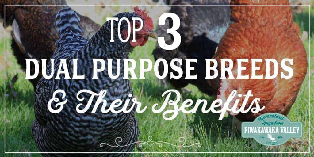 Top 3 Dual Purpose Chicken Breeds for Your Homestead and Their Benefits