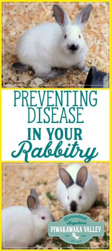 If you keep animals, eventually one of them will get sick. Let me show you how to prevent rabbit diseases and how to control rabbit illness if you get it in your rabbitry.I can show you how to deal with a sick rabbit to prevent other animals getting sick. #rabbits #rabbitcolony #meatrabbits #homesteading