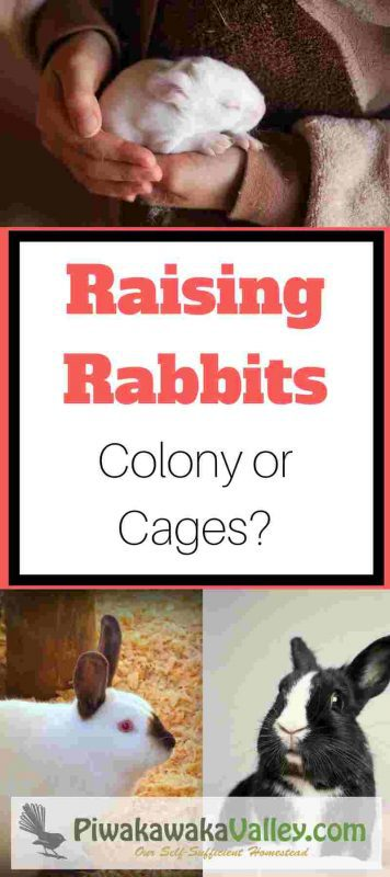 Do you have rabbits or are looking at getting them in the future? Are you looking for a more natural way of raising rabbits in your backyard? I have put together the pros and cons of keeping rabbits in cages versus keeping rabbits in a colony. Find out more today! #rabbits #colony #meatrabbits #naturalrabbits