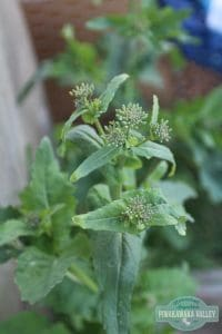 wild brassica - food you can forage in your backyard