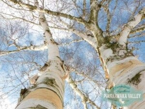 Birch sap - food you can forage in your backyard