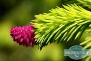 Spruce - food you can forage in your backyard