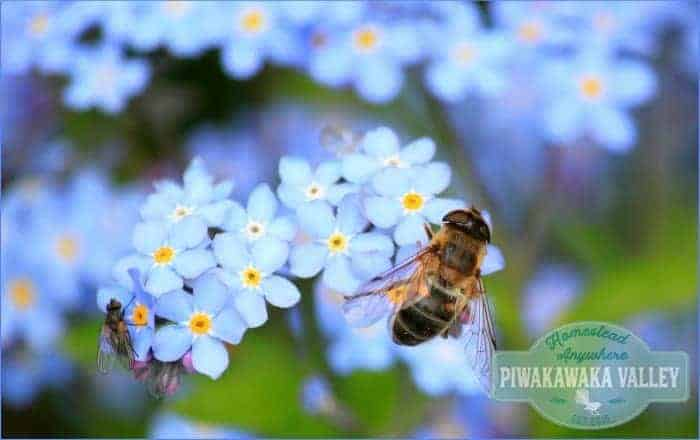 Honey bees are facing extinction. There are some things we can do to help ensure their survival. Having a garden full of bee friendly plants is one of them. Here are 40 fabulous plants to get you started with planing a bee friendly garden. #bees #keepingbees #gardening #sustainability #homesteading