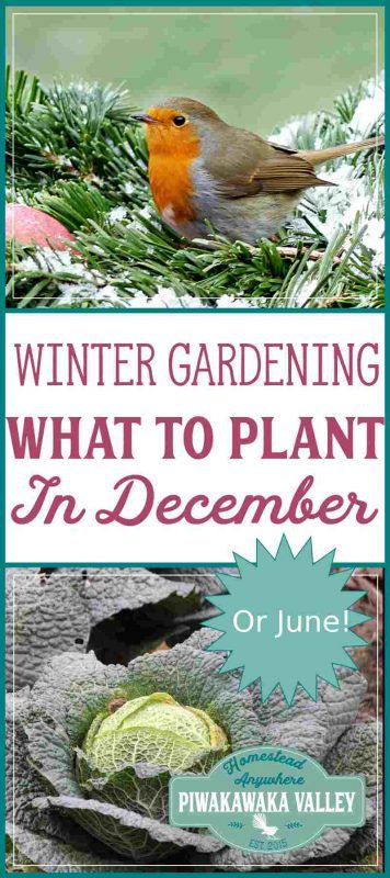 Not sure what to plant in your Winter garden this month? Here is a list of tasks and plants that are suitable for the month of December - or June in the Southern Hemisphere. #vegetablegarden #wintergarden #homesteading