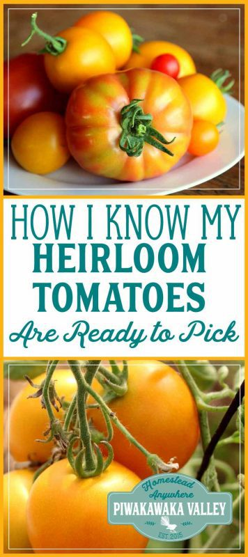 It is hard to tell when heritage tomatoes are ripe as they come in such a large range of colors. Here is how to tell if green, yellow, black, pink and red tomatoes are ready to harvest. #tomatoes #growingtomatoes #summerharvest #homestead #gardening #garden #selfsufficiency