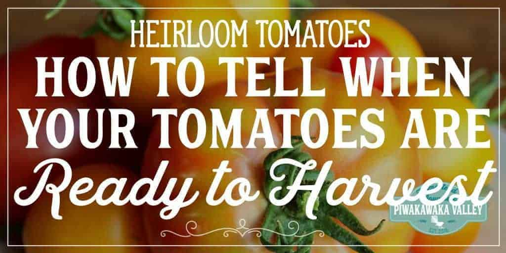 These are the 3 tricks I use for my Heirloom tomatoes to tell when they are ripe as they come in such a large range of colors. Here is how to tell if green, yellow, black, pink and red tomatoes are ready to harvest. #tomatoes #growingtomatoes #summerharvest #homestead #gardening #garden #selfsufficiency