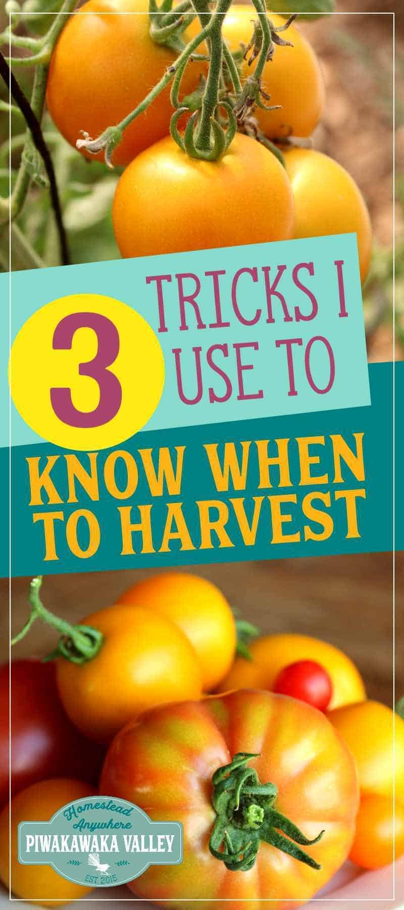 How do You Know When Heritage Tomatoes are Ripe? When to pick heirloom tomatoes