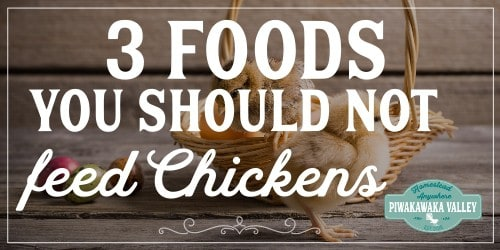 Chickens are easy to keep, but make sure youa re not feeding your chickens these 3 foods! #backyeardchickens #keepingchickens #chickens #homesteading #homesteads #piwakawakavalley