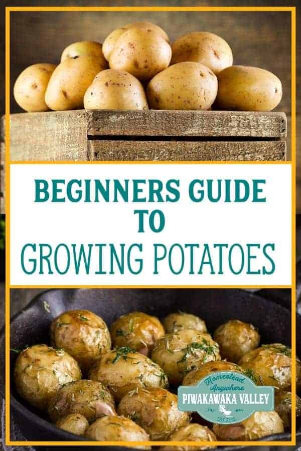 Growing potatoes in pots, a beginners guide to growing your own potatoes. You can grow spuds in pots, containers or tyres with great results. Find out how today! #piwakawakavalley #potatoes #vegeteablegarden