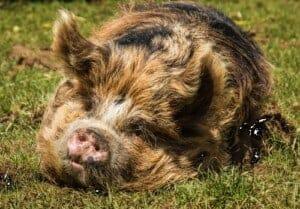 Raising Free Range Pork: A guide to keeping heritage pigs promo image