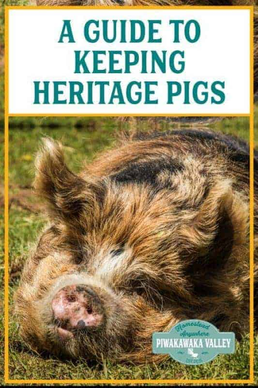 Raising your own pork is an affordable option to get freerange pork. Here is a guide to choosing and raising heritage pork. #pigs #pork #raisingpigs #piwakawakavalley