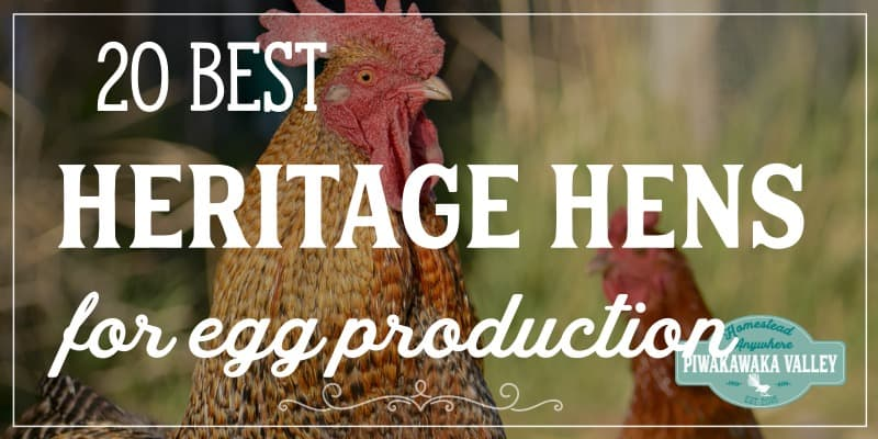 Top 20 Best Heritage Chicken Breeds for Eggs promo image