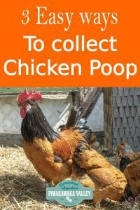 3 easy ways to collect chicken poop from your chicken house to keep the coop clean and not stinky. #piwakawakavalley