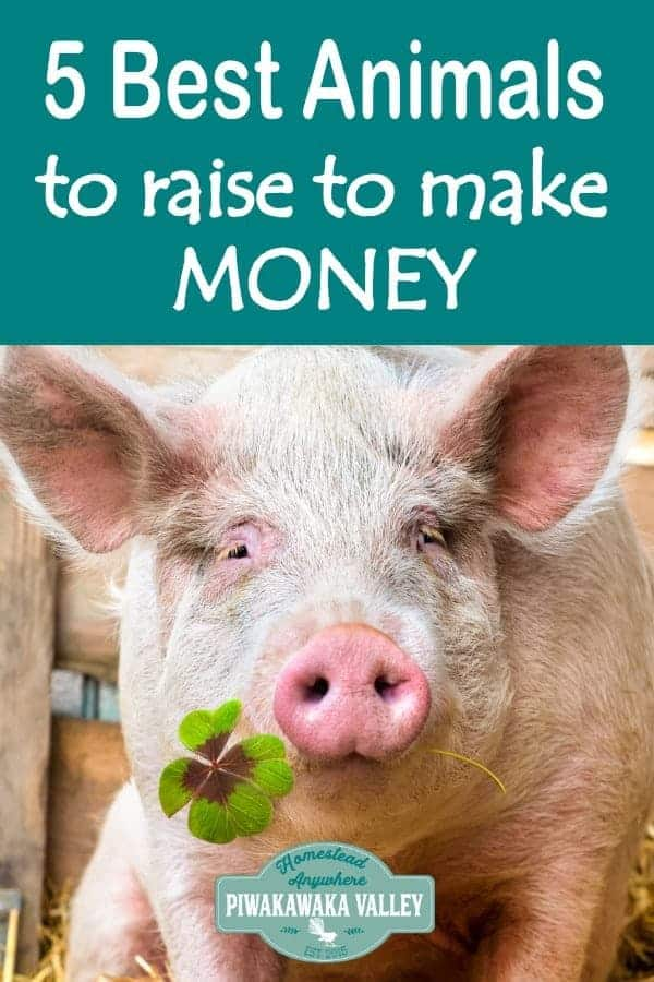 Raising animals for profit is a great way to make money on a farm or homesteading. Financical independence is possible when you choose the top 5 animals to raise for profit. #homesteading #piwakawakavalley #farmlife #makingmoneyfromhome