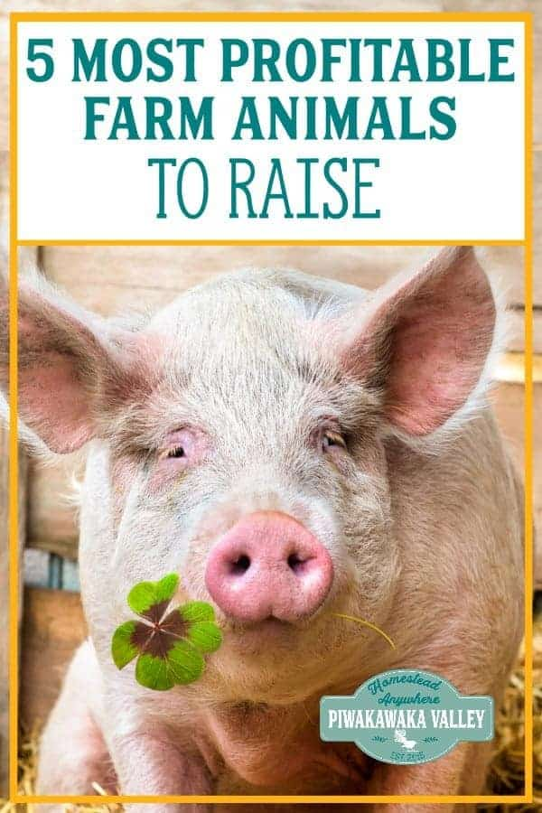 Raising animals for profit is a great way to make money on a farm or homesteading. Financical independence is possible when you choose the top 5 animals to raise for profit. #homesteading #piwakawakavalley