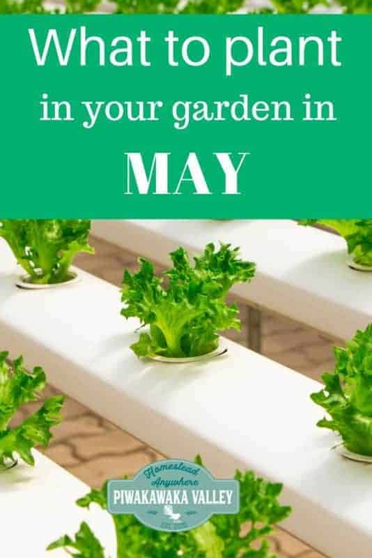 WHat to grow in your garden in early spring - may in the northern hemisphere or September in the southern hemisphere. #piwakawakavalley